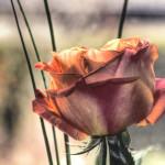 Rose HDR by Brigitte Fredensborg